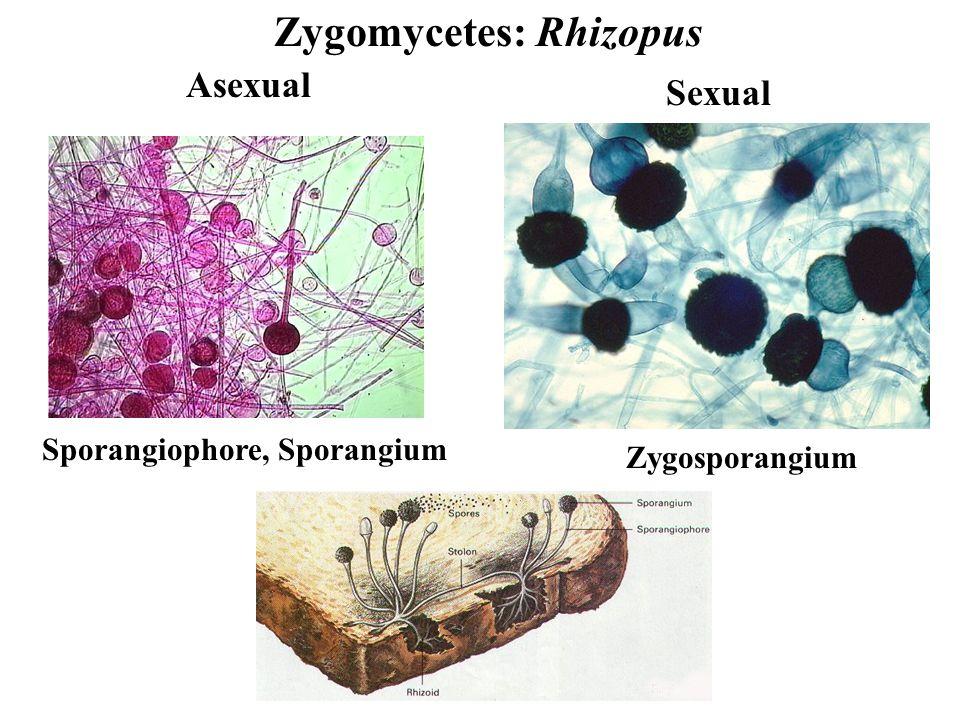 Zygomycetes: Rhizopus Asexual Sexual Zygosporangium Sporangiophore, Sporangium