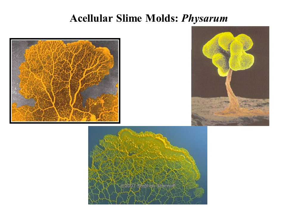 Acellular Slime Molds: Physarum