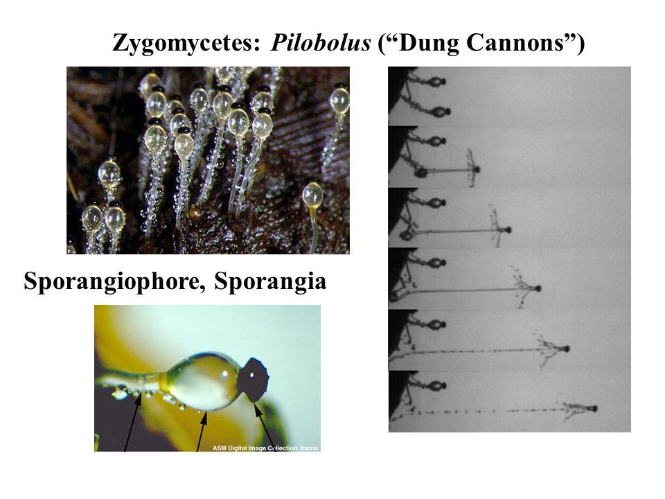 Zygomycetes: Pilobolus ( Dung Cannons ) Sporangiophore, Sporangia