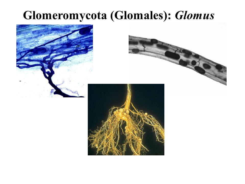 Glomeromycota (Glomales): Glomus