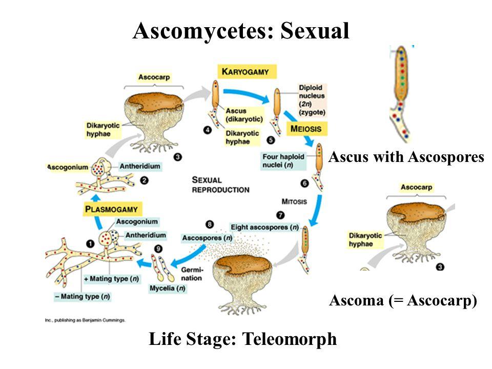 Ascomycetes: Sexual Life Stage: Teleomorph Ascus with Ascospores Ascoma (= Ascocarp)