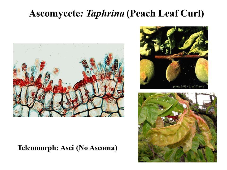 Ascomycete: Taphrina (Peach Leaf Curl) Teleomorph: Asci (No Ascoma)