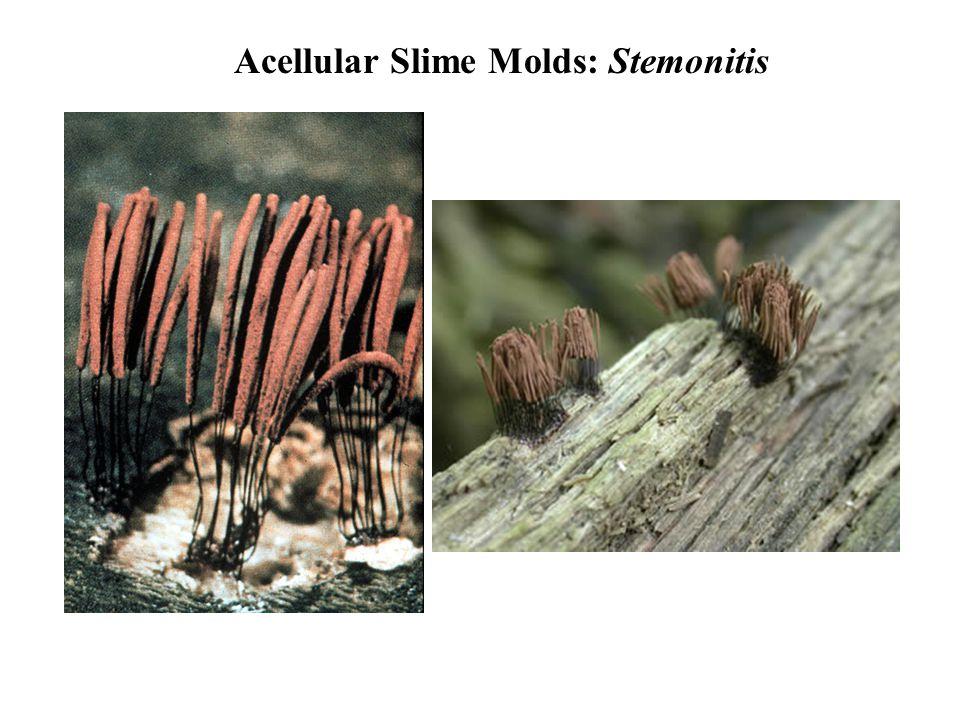 Acellular Slime Molds: Stemonitis