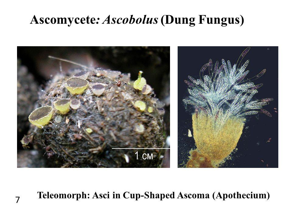 Ascomycete: Ascobolus (Dung Fungus) 7 Teleomorph: Asci in Cup-Shaped Ascoma (Apothecium)