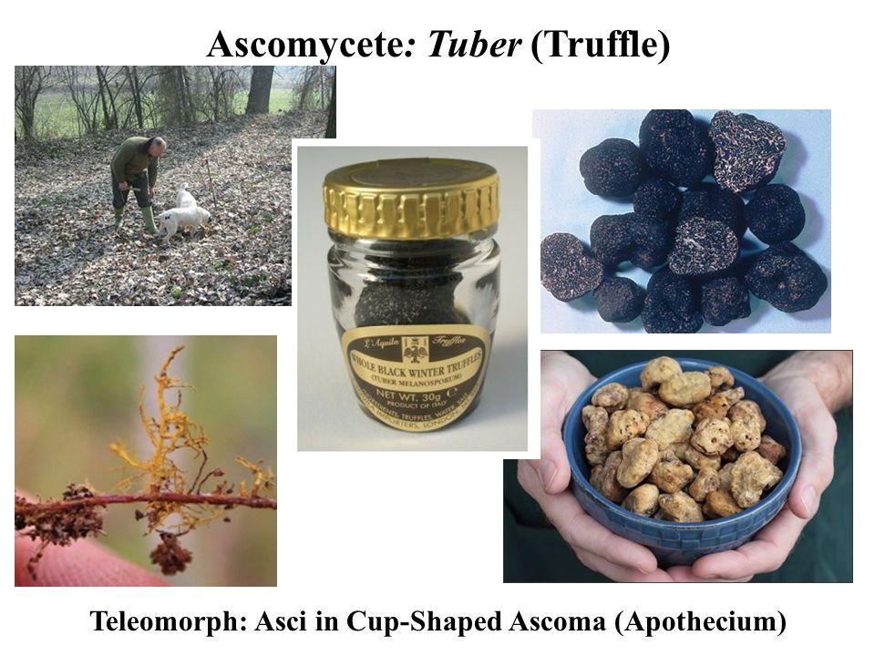 Ascomycete: Tuber (Truffle) Teleomorph: Asci in Cup-Shaped Ascoma (Apothecium)