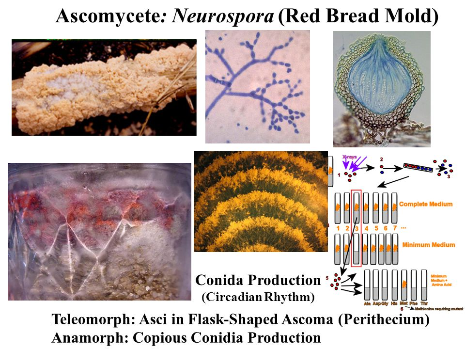Ascomycete: Neurospora (Red Bread Mold) Teleomorph: Asci in Flask-Shaped Ascoma (Perithecium) Anamorph: Copious Conidia Production Conida Production (