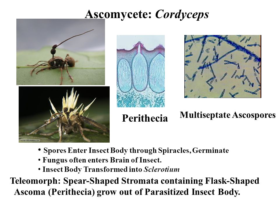 Ascomycete: Cordyceps Teleomorph: Spear-Shaped Stromata containing Flask-Shaped Ascoma (Perithecia) grow out of Parasitized Insect Body.