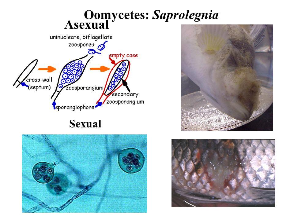 Oomycetes: Saprolegnia Asexual Sexual