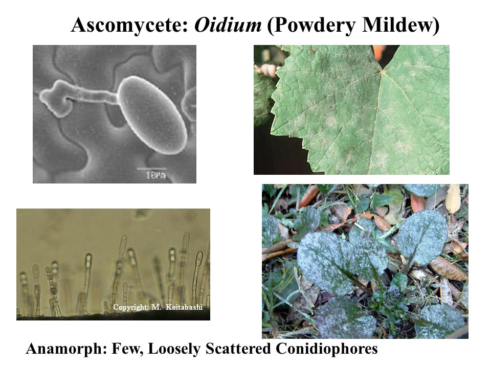Ascomycete: Oidium (Powdery Mildew) Anamorph: Few, Loosely Scattered Conidiophores