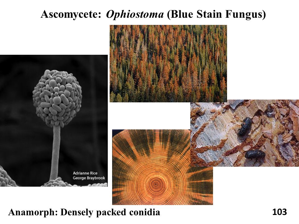 103 Ascomycete: Ophiostoma (Blue Stain Fungus) Anamorph: Densely packed conidia