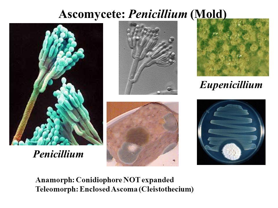 Eupenicillium Penicillium Ascomycete: Penicillium (Mold) Anamorph: Conidiophore NOT expanded Teleomorph: Enclosed Ascoma (Cleistothecium)