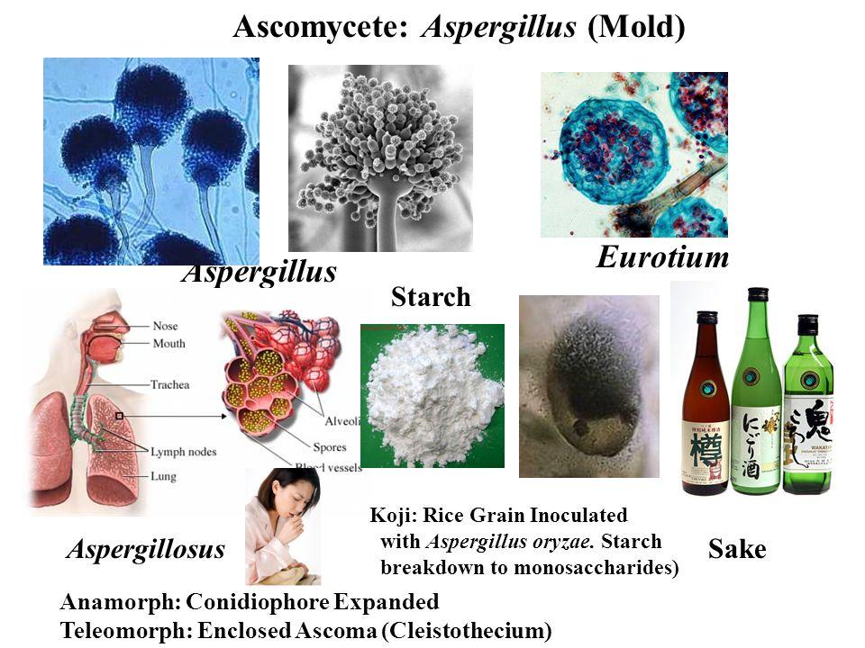 Eurotium Aspergillus Ascomycete: Aspergillus (Mold) Anamorph: Conidiophore Expanded Teleomorph: Enclosed Ascoma (Cleistothecium) AspergillosusSake Koji: Rice Grain Inoculated with Aspergillus oryzae.