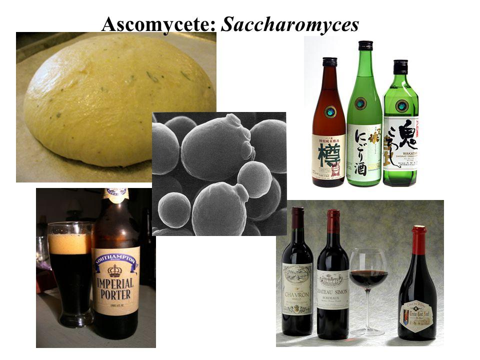 Ascomycete: Saccharomyces
