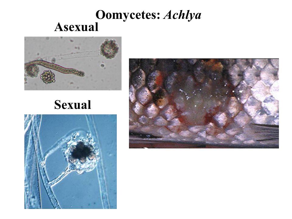 Oomycetes: Achlya Asexual Sexual