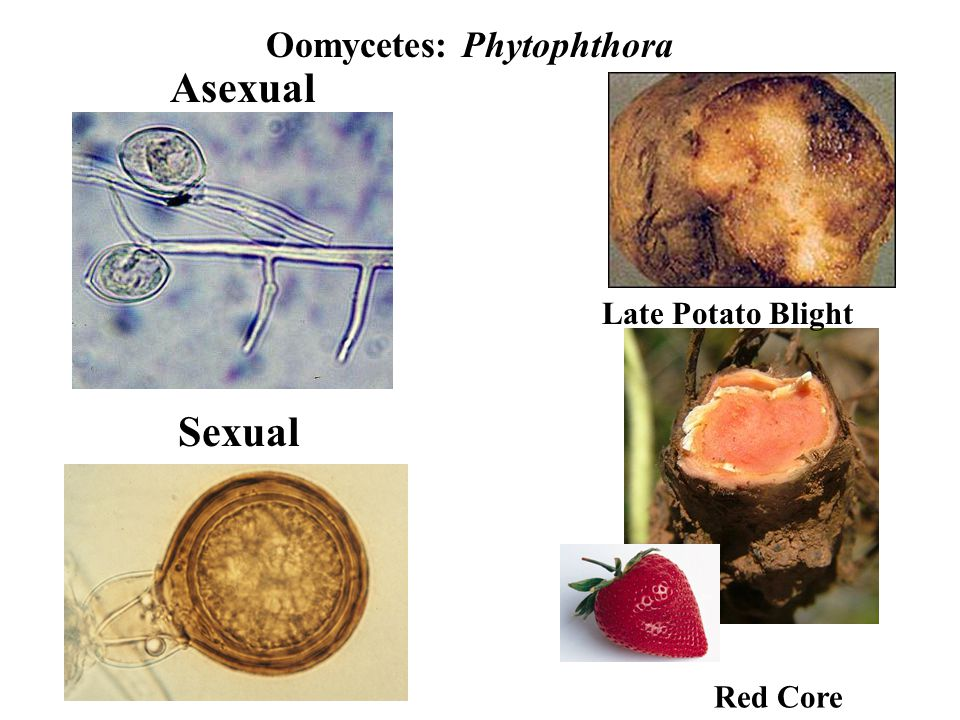 Oomycetes: Phytophthora Late Potato Blight Red Core Asexual Sexual