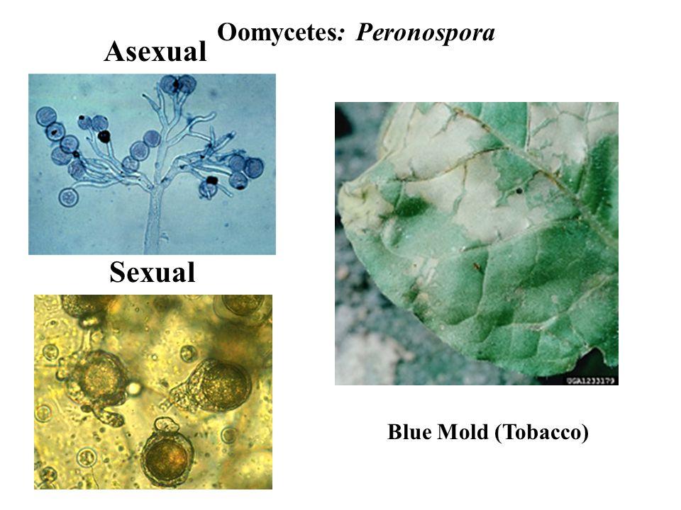 Oomycetes: Peronospora Asexual Sexual Blue Mold (Tobacco)