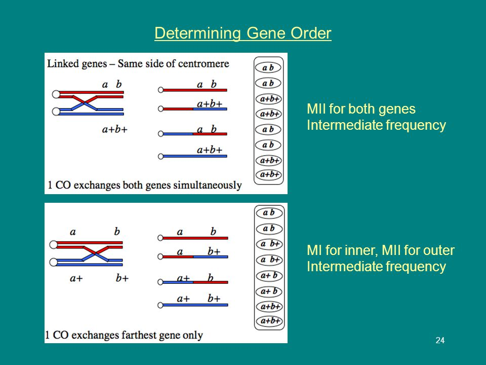 24 Determining Gene Order MII for both genes Intermediate frequency MI for inner, MII for outer Intermediate frequency
