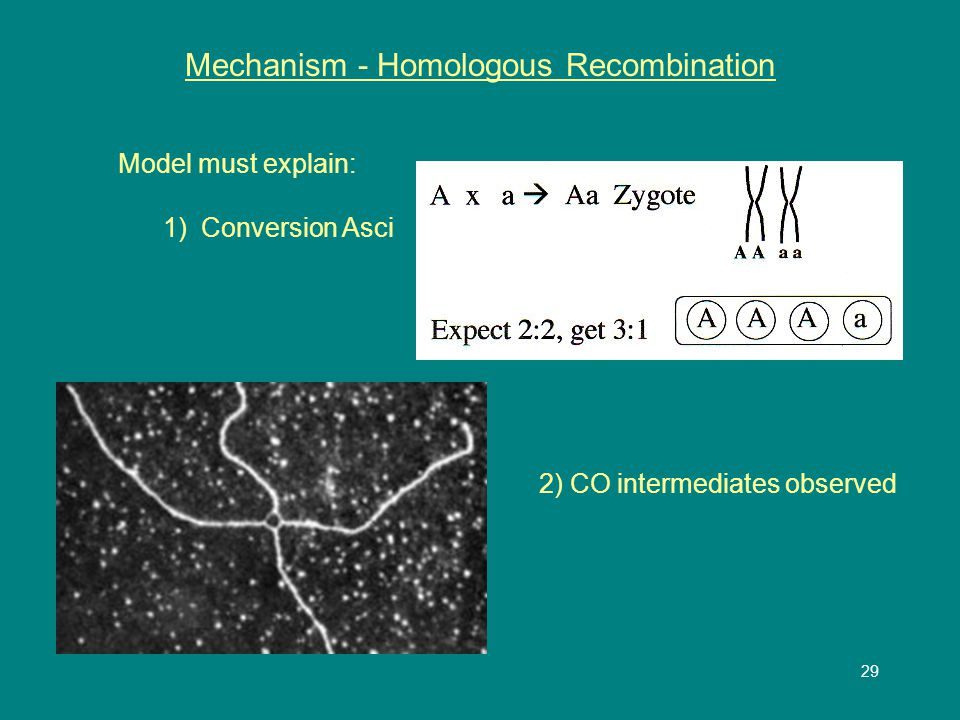 29 Mechanism - Homologous Recombination Model must explain: 1) Conversion Asci 2) CO intermediates observed