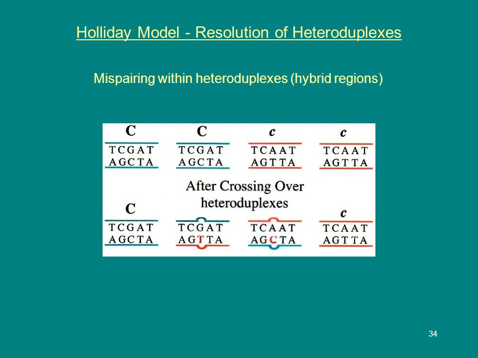 34 Holliday Model - Resolution of Heteroduplexes Mispairing within heteroduplexes (hybrid regions)