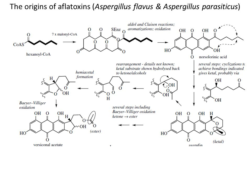 The origins of aflatoxins (Aspergillus flavus & Aspergillus parasiticus)
