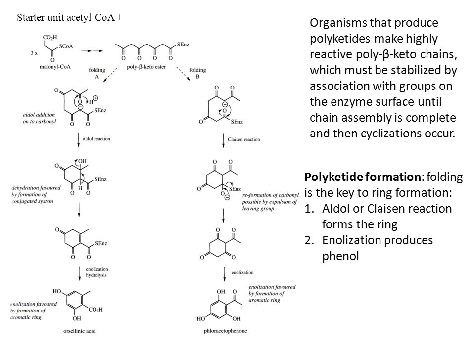 Starter unit acetyl CoA + Polyketide formation: folding is the key to ring formation: 1.Aldol or Claisen reaction forms the ring 2.Enolization produces phenol Organisms that produce polyketides make highly reactive poly-β-keto chains, which must be stabilized by association with groups on the enzyme surface until chain assembly is complete and then cyclizations occur.