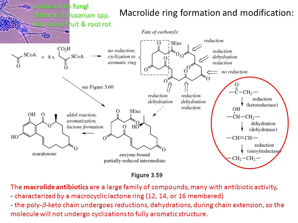 Macrolide ring formation and modification: The macrolide antibiotics are a large family of compounds, many with antibiotic activity, - characterized by a macrocyclic lactone ring (12, 14, or 16 membered) - the poly-  -keto chain undergoes reductions, dehydrations, during chain extension, so the molecule will not undergo cyclizations to fully aromatic structure.
