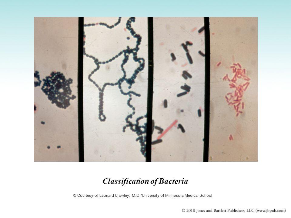 Classification of Bacteria © Courtesy of Leonard Crowley, M.D./University of Minnesota Medical School