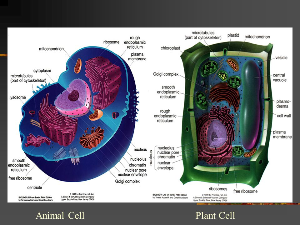 Animal CellPlant Cell