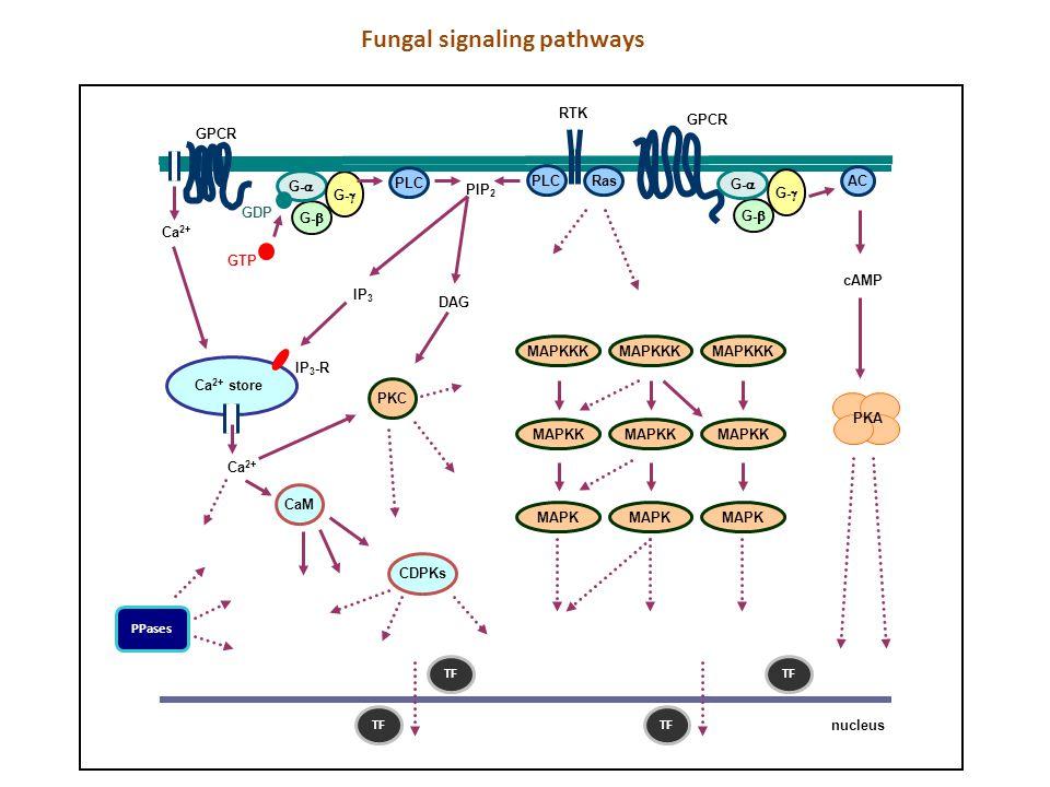 Fungal signaling pathways