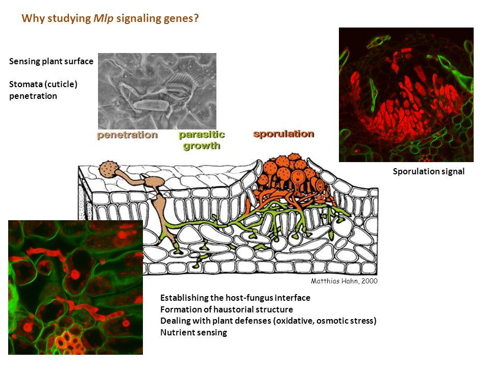 Sensing plant surface Stomata (cuticle) penetration Matthias Hahn, 2000 Why studying Mlp signaling genes.
