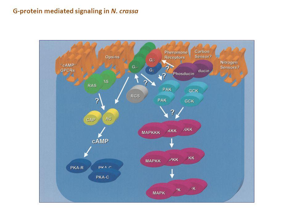 G-protein mediated signaling in N. crassa