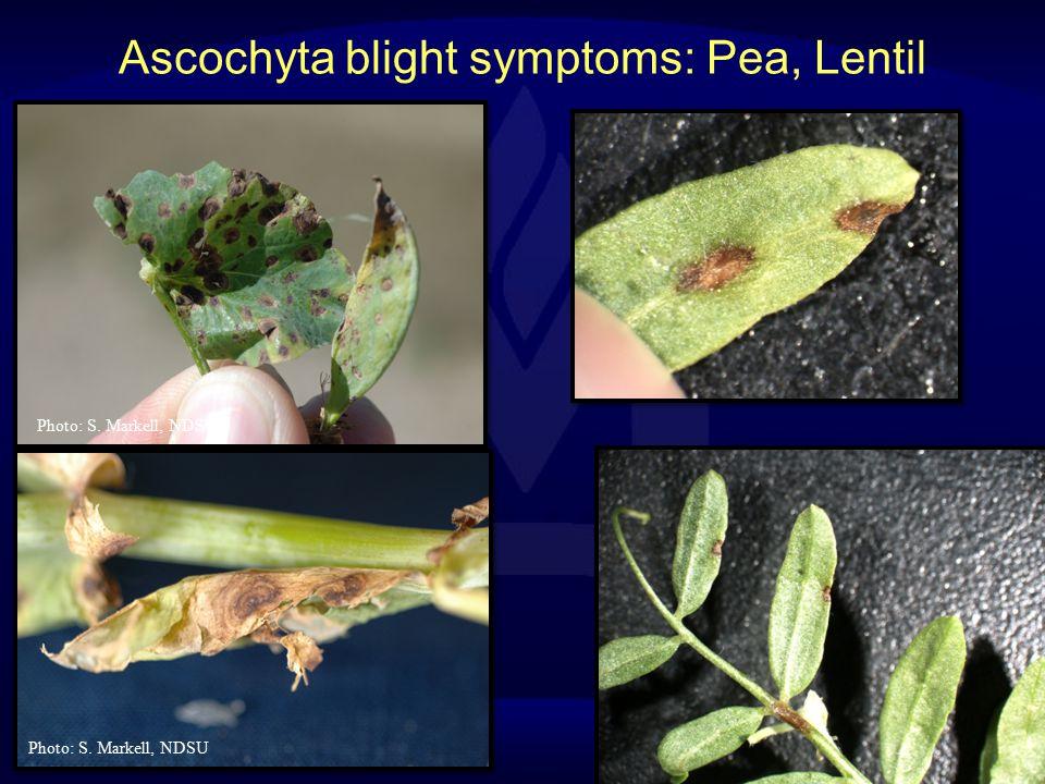 Ascochyta blight symptoms: Pea, Lentil Photo: S. Markell, NDSU