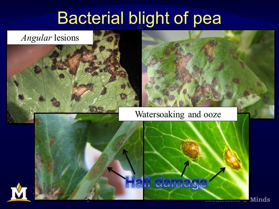 Bacterial blight of pea Angular lesions Watersoaking and ooze