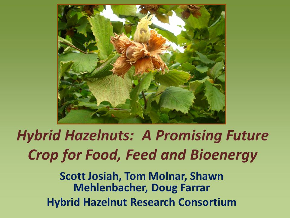 Hybrid Hazelnuts: A Promising Future Crop for Food, Feed and Bioenergy Scott Josiah, Tom Molnar, Shawn Mehlenbacher, Doug Farrar Hybrid Hazelnut Research Consortium