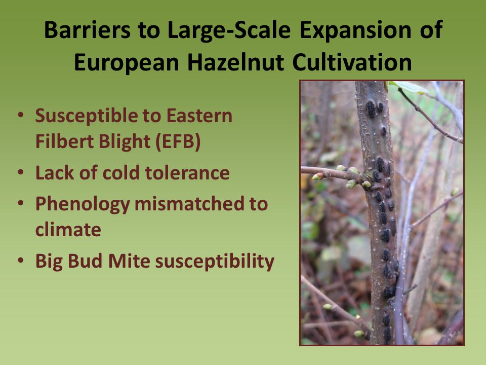 Barriers to Large-Scale Expansion of European Hazelnut Cultivation Susceptible to Eastern Filbert Blight (EFB) Lack of cold tolerance Phenology mismatched to climate Big Bud Mite susceptibility