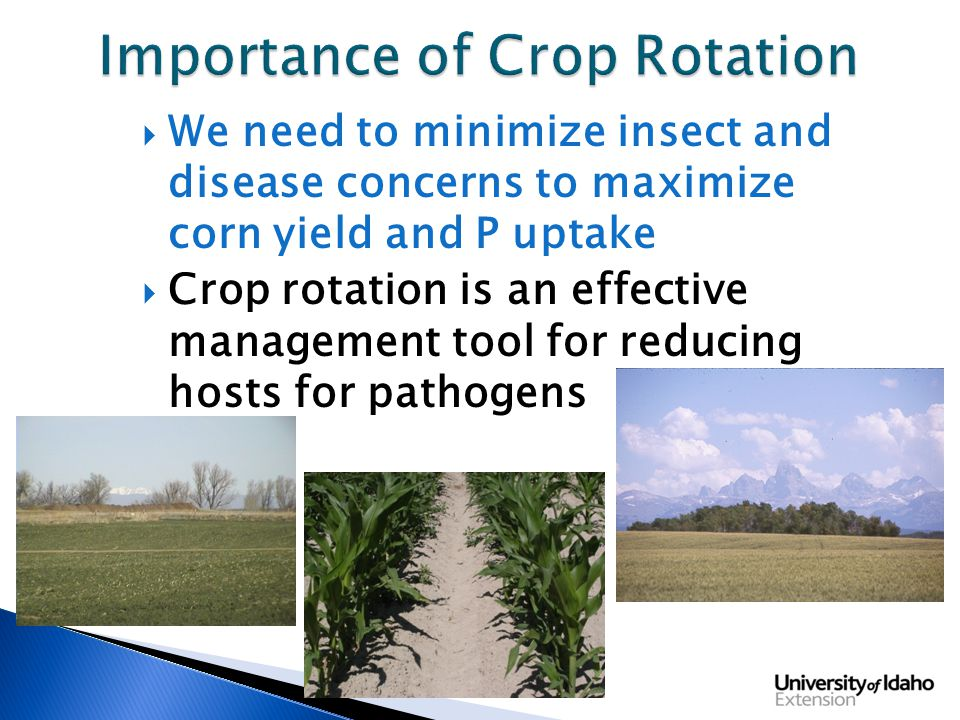  We need to minimize insect and disease concerns to maximize corn yield and P uptake  Crop rotation is an effective management tool for reducing hosts for pathogens