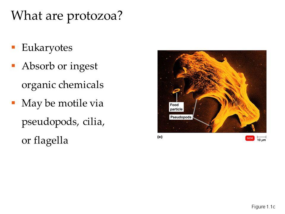 What are protozoa.