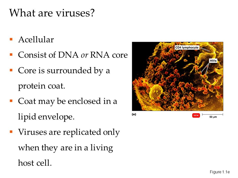 What are viruses.  Acellular  Consist of DNA or RNA core  Core is surrounded by a protein coat.