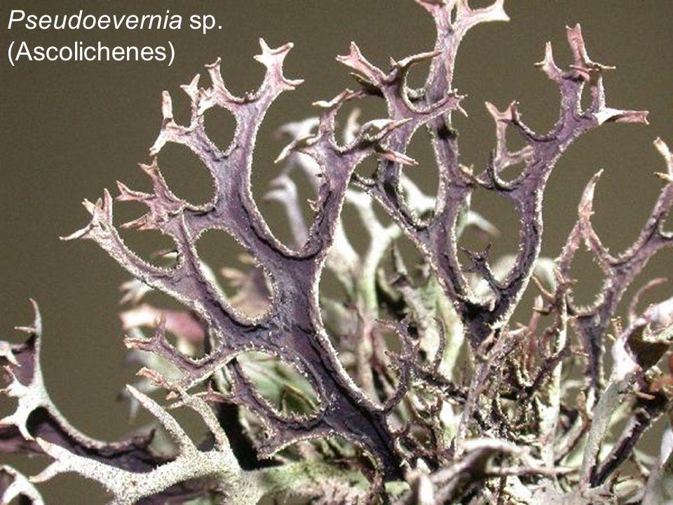 Pseudoevernia sp. (Ascolichenes)