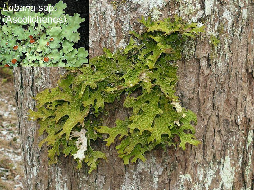 Lobaria spp. (Ascolichenes)