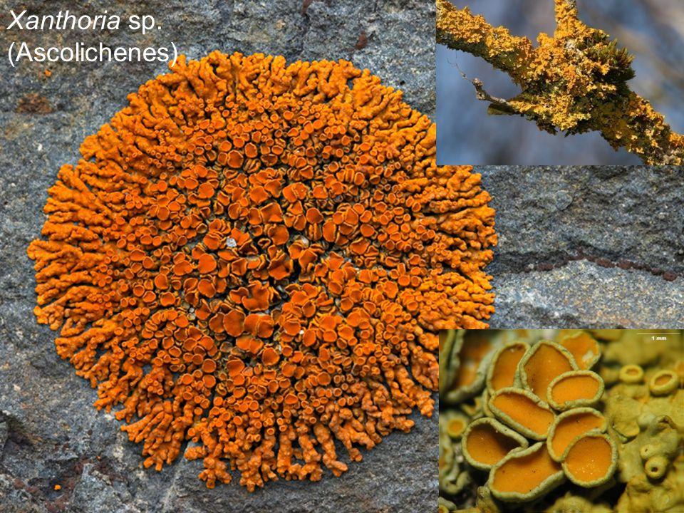 Xanthoria sp. (Ascolichenes)