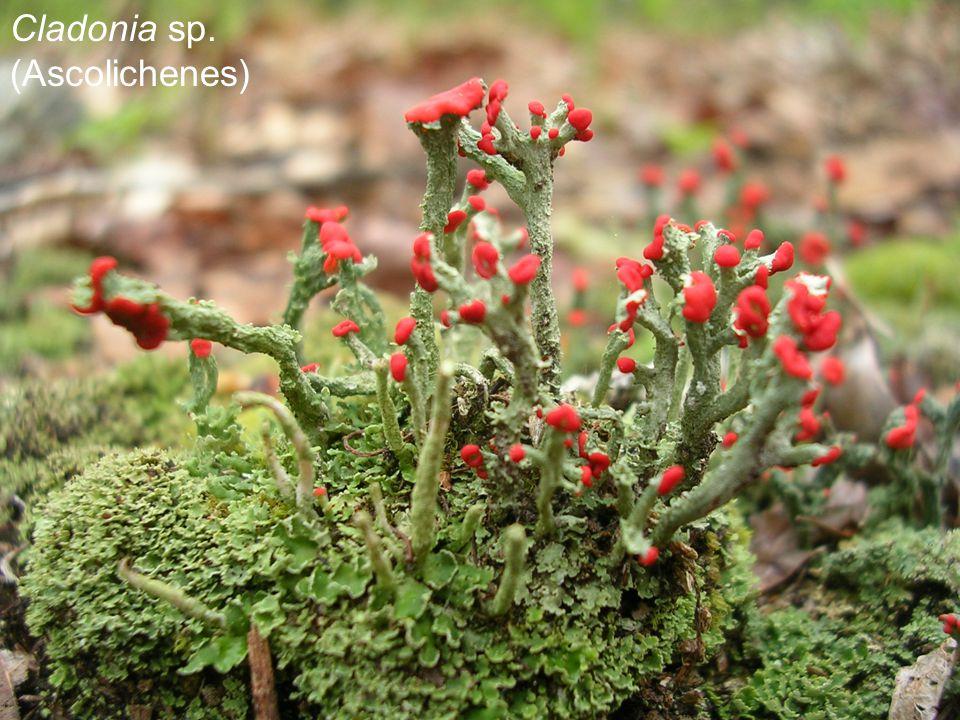Cladonia sp. (Ascolichenes)