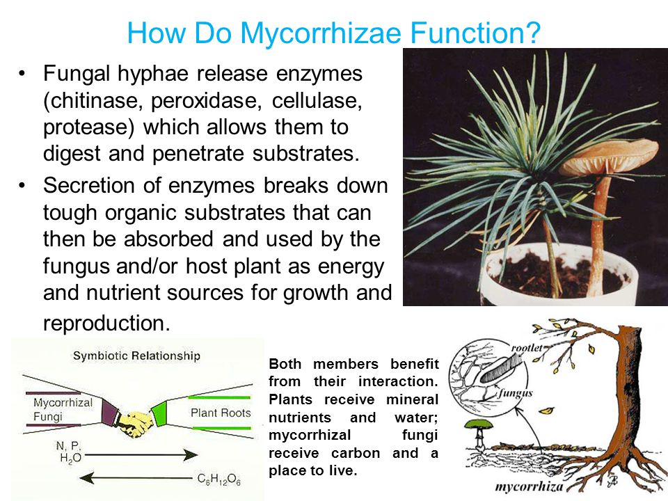 How Do Mycorrhizae Function? Fungal hyphae release enzymes (chitinase, peroxidase, cellulase, protease) which allows them to digest and penetrate subs