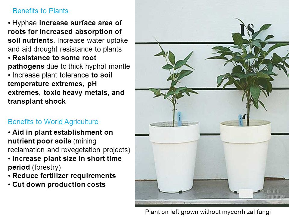 Plant on left grown without mycorrhizal fungi Benefits to Plants Hyphae increase surface area of roots for increased absorption of soil nutrients.