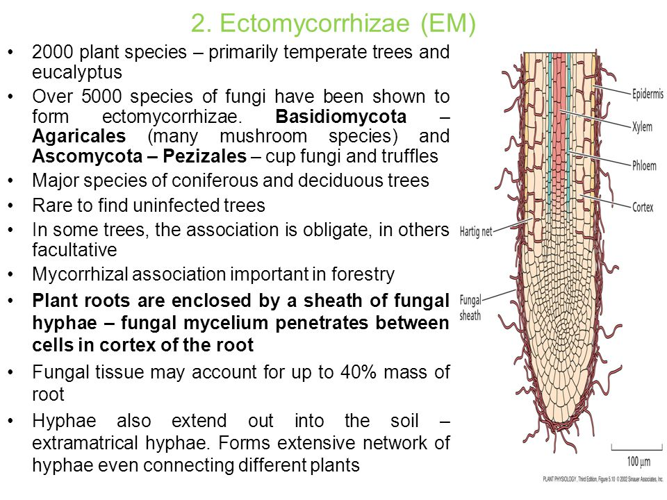 2. Ectomycorrhizae (EM) 2000 plant species – primarily temperate trees and eucalyptus Over 5000 species of fungi have been shown to form ectomycorrhiz