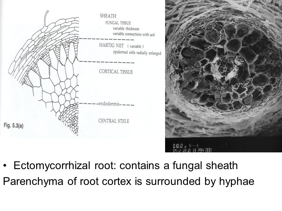 Ectomycorrhizal root: contains a fungal sheath Parenchyma of root cortex is surrounded by hyphae