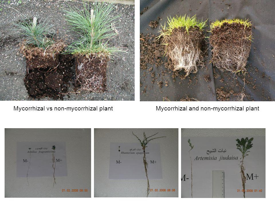 Mycorrhizal vs non-mycorrhizal plantMycorrhizal and non-mycorrhizal plant