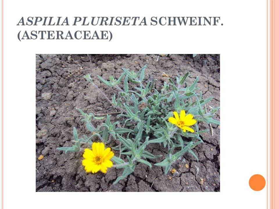 ASPILIA PLURISETA SCHWEINF. (ASTERACEAE)
