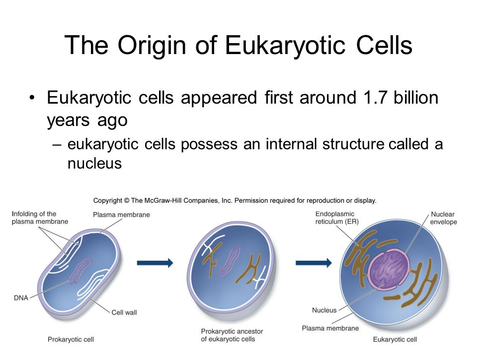The Origin of Eukaryotic Cells The endosymbiotic theory is a widely accepted explanation for the origin of mitochondria and chloroplasts in eukaryotes from bacteria –present-day mitochondria and chloroplasts still contain their own DNA this DNA is remarkably similar in size and character to the DNA of bacteria
