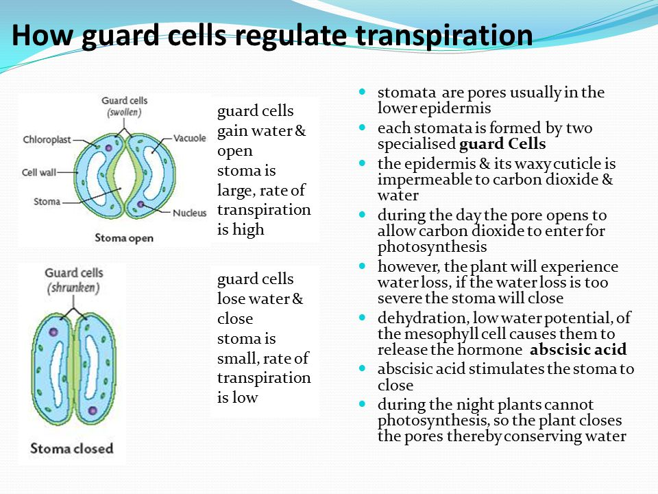 How guard cells regulate transpiration stomata are pores usually in the lower epidermis each stomata is formed by two specialised guard Cells the epid